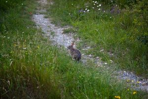 Spring-peter-cottontail-rabbit-bunny-trail_-_West_Virginia_-_ForestWander